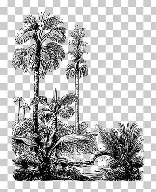 Asian Palmyra Palm Drawing Arecaceae Pine /m/02csf PNG
