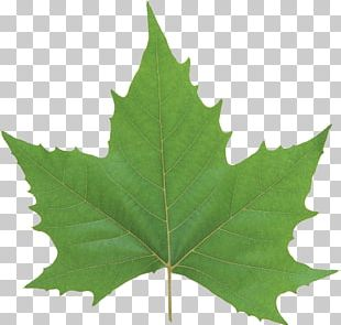 Leaf Look At Leaves Green PNG