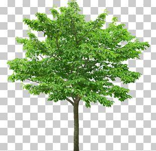 Plane Trees Desktop PNG