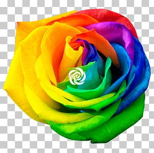 Rainbow Rose Stock Photography Flower PNG