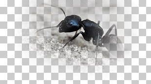 Black Garden Ant Insect Black Carpenter Ant Fire Ant PNG