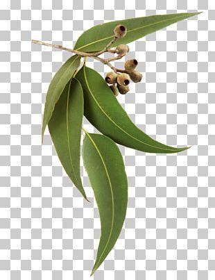 Eucalyptus Radiata Eucalyptus Oil Tasmanian Blue Gum Lemon-scented Gum DoTerra PNG