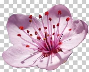 Japan Plum Blossom Cherry Blossom Flower PNG
