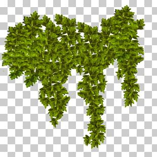 Plant Common Ivy Vine PNG