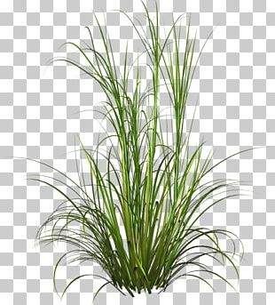 Fountain Grass Ornamental Grass Lawn Soft Rush PNG