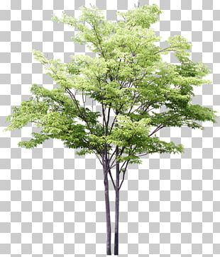 Drawing Tree Watercolor Painting Sketch PNG