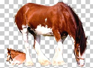 Clydesdale Horse Foal Mare American Paint Horse Colt PNG