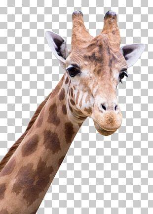 Giraffe Arabic Alphabet PNG
