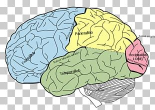 Human Brain Human Body Cerebrum Child PNG