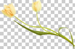 Tulip Petal Plant Stem Bud PNG