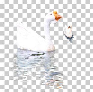 Goose Cygnini Duck Bird PNG
