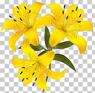 Lilium Yellow Flower Hemerocallis Fulva PNG