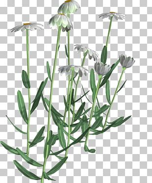 Flowering Plant Chamomile Common Daisy PNG