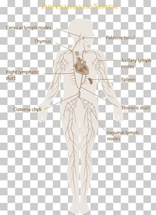 The Lymphatic System Manual Lymphatic Drainage Immune System Lymphatic Vessel PNG