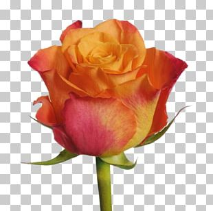 Garden Roses Cut Flowers Plant PNG