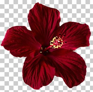 Shoeblackplant Flower Red Rose PNG