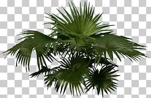 Arecaceae Woody Plant Tree PNG
