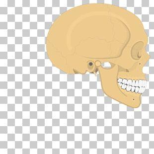 Skull Parietal Bone Temporal Line Human Skeleton Anatomy PNG