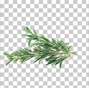 Rosemary Herb Mediterranean Cuisine Spice Vegetable PNG