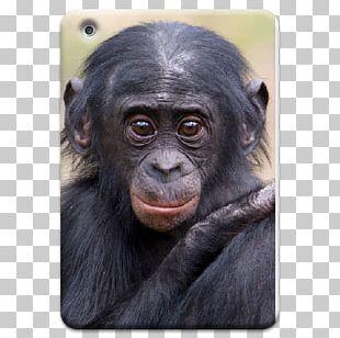 Common Chimpanzee Gorilla Apenheul Primate Park Monkey PNG