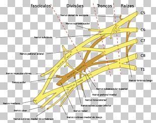The Brachial Plexus Brachial Plexus Injury Spinal Cord PNG