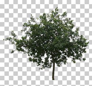 Branch Oak Tree Leaf Shrub PNG
