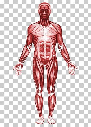 Human Body Muscular System Muscle Anatomy Organ PNG