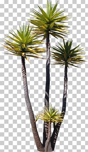 Tree Arecaceae Asian Palmyra Palm Plant Painting PNG