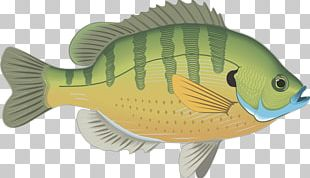 Bluegill Fish Gill Actinopterygii Drawing PNG