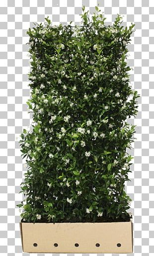 Confederate-jasmine Common Ivy Hedge Vine Evergreen PNG