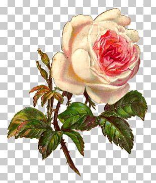 Rose Vintage Clothing Botanical Illustration PNG