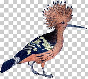 Galliformes Feather Crest Beak Fauna PNG