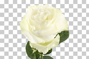 Cut Flowers Garden Roses Centifolia Roses Floribunda PNG