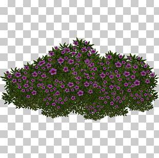 Saxifraga Oppositifolia Plant Extinction PNG