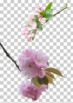 National Cherry Blossom Festival PNG