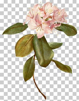 Botany Flower Botanical Illustration Paper Rose PNG