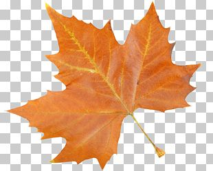 Maple Leaf Feature PNG
