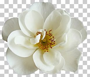 Flower Bouquet White Rose PNG