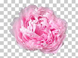 Peony Pink Flowers Pink Flowers Rose PNG