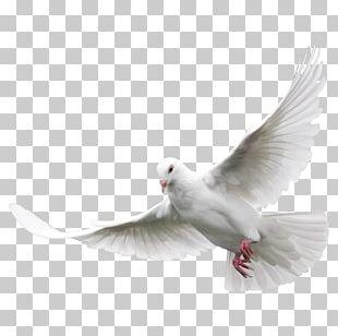 Columbidae Domestic Pigeon Bird PNG