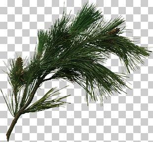 Pine Tree Branch Fir Pinus Pinaster PNG