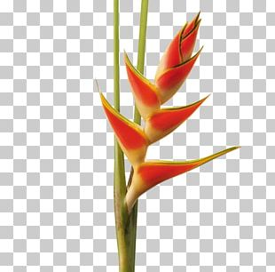 Hippeastrum Cut Flowers Lobster-claws Plant Stem Bud PNG