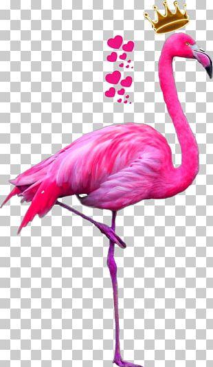 Greater Flamingo American Flamingo Bird Pink PNG