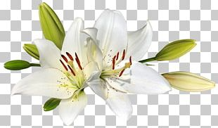 Easter Lily Flower Stock Photography PNG