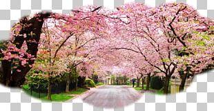 International Cherry Blossom Festival Cherries PNG