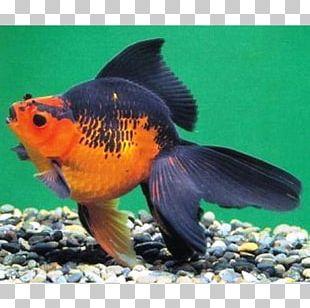 Ryukin Veiltail Ranchu Common Goldfish Feeder Fish PNG
