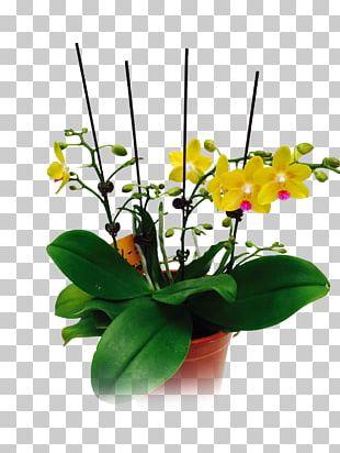 Moth Orchids Floral Design Cut Flowers Flowerpot Plant Stem PNG