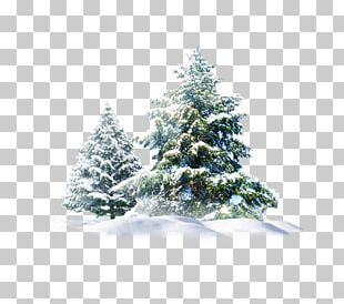 Polar Bear Snow Pine PNG