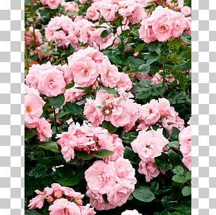 Floribunda Garden Roses Cabbage Rose China Rose Memorial Rose PNG