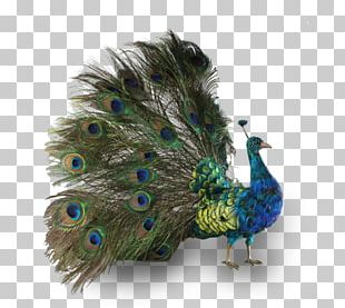 Bird Peafowl Phasianidae Feather Antique PNG
